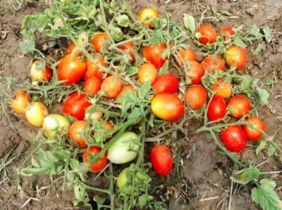 ٹماٹرکے کاشتکاروں کو فصل کی آبپاشی میں انتہائی احتیاط برنتے کی ہدایت