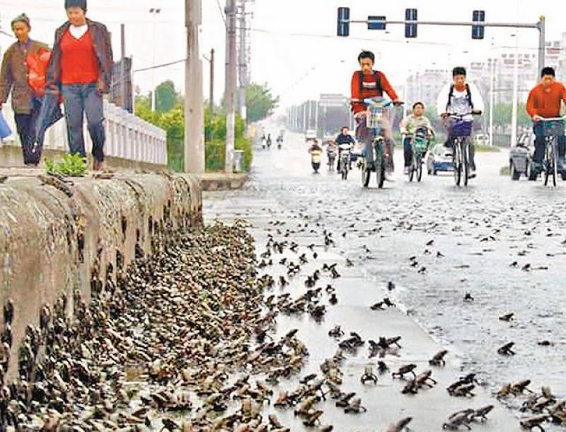 چین میں تیز بارشوں کے باعث ہزاروں مینڈک سڑکوں پر آگئے