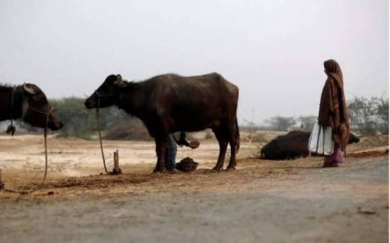 ساہیوال: ڈنڈا مارنے پر بیل مشتعل مالکن کو ٹکریں مار کر ہلاک کردیا
