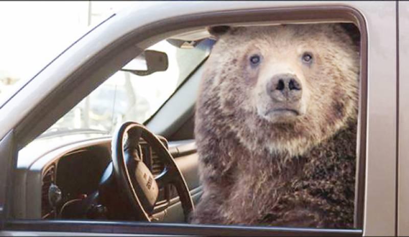 کینیڈا میں ڈرائیونگ کا شوقین ریچھ