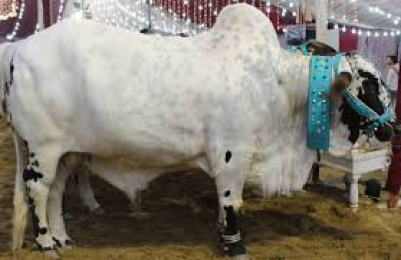 سگیاں منڈی میں 11 من وزنی بیل کی ساڑھے 7 لاکھ روپے میں فروخت