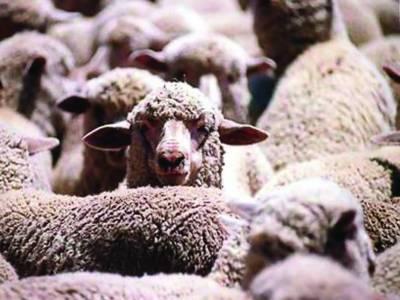 آسٹریلوی بھیڑوں کی تلفی کے خلاف میڈیکل بورڈ قائم' رپورٹ طلب