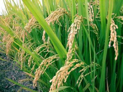 جنوبی افریقہ کی مارکیٹ میں2 لاکھ ٹن چاول برآمد کرنے کا ہدف
