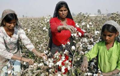پنجاب میں 5.78 ملین ایکڑ پرکپاس کاشت' گنے کا زیرکاشت رقبہ 1.8 ملین ایکڑ ہو گیا