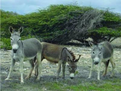 دیپالپور: گدھوں کا گوشت فروخت کرنیوالا رنگے ہاتھوں گرفتار، ساتھی فرار