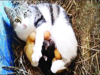 برطانیہ: پالتو بلی نے بطخ کے تین بچوں کو گود لے لیا