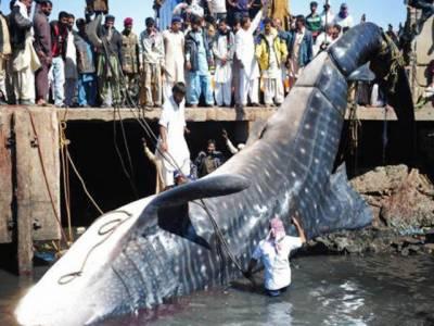 کراچی کے ساحل سے 70 فٹ لمبی وہیل مچھلی مردہ حالت میں برآمد