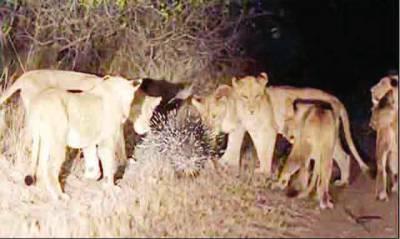 سترہ شیر ایک کانٹے دار چوہے کے سامنے ڈھیر ہو گئے