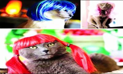 دلکش نظر آنے کیلئے بلیوں نے بھی وگز پہننا شروع کردیں