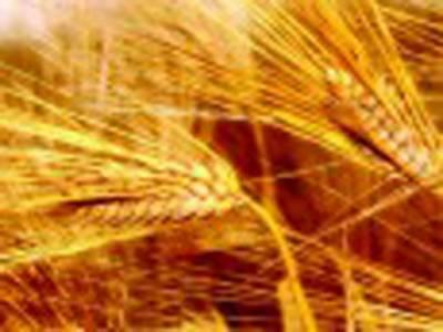 گندم کی پیداوار رواں سال بھی ہدف سے کم رہنے کا امکان