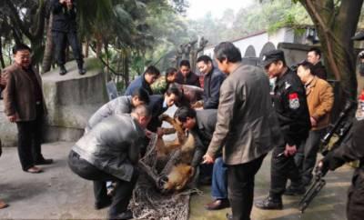 چین: اپنے رکھوالے کو مارنے پر چڑیا گھر میں شیر کو گولی مار دی گئی