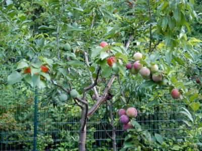 امریکہ میں ایک ہی درخت پر 40 اقسام کے پھل حاصل کرنے کا کامیاب تجربہ