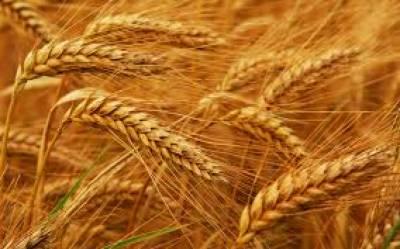-گندم کا پیداواری ہدف 26 ملین ٹن رکھنے کی تجویز