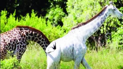 تنزانیہ : نیشنل پارک میں سفید زرافہ لوگوں کی توجہ کا مرکز