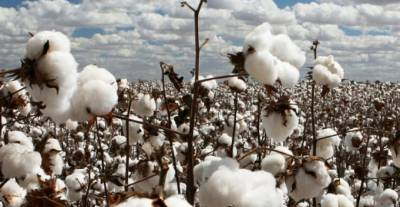 کپاس کو ملکی معیشت میں غیر معمولی حیثیت حاصل ہے: رانا اعجاز
