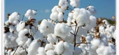 کپاس کو نقصان رساں کیڑوں سے محفوظ رکھنے کیلئے کاشتکار ہفتہ میں دوبار فصل کی پیسٹ سکاٹنگ کریں: محکمہ زراعت