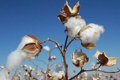 پنجاب میں کپاس کی پیداوار نہ بڑھ سکی،41 فیصد کمی، سندھ میں6 فیصد اضافہ