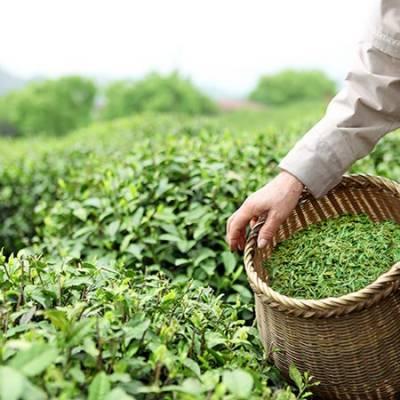 کشیدگی: بھارت نے پاکستان کیلئے چائے کی برآمد میں کمی کر دی