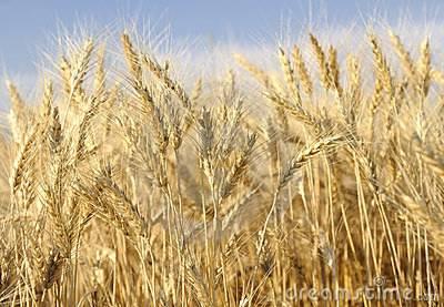 گندم کے بیج کی قیمت نہ بڑھانے کا فیصلہ' کسانوں کو ریلیف دینا چاہتے ہیں : ڈاکٹر فرخ