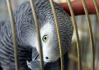 کویت میں خاتون کے طوطے نے اس کے شوہر اور محبوبہ کے ''معاشقے'' کا بھانڈا پھوڑ دیا