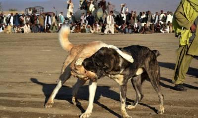 ء جانوروں کی لڑائیاں اور اس پر جوا کرانے کے خلاف درخواست پر ایڈووکیٹ جنرل پنجاب کو نوٹس جاری
