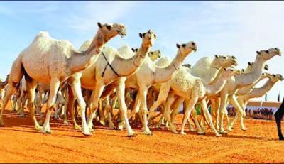 سعودی عرب میں اونٹوں کا مقابلہ حسن رواں ماہ ہو گا' جیتنے والے کو سوا 3 ارب انعام ملے گا