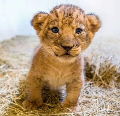 لاہور چڑےا گھر مےں کارہ نامی شےرنی نے بچے کو جنم دےا، شیروں کی تعداد 24ہو گئی