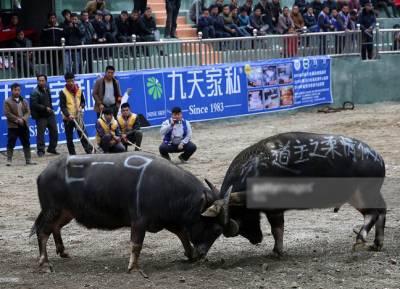 چین میں بیلوں کی لڑائی کا سالانہ روایتی میلہ