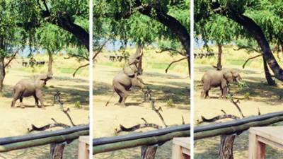 زیمبیا نیشنل پارک میں انسانوں کی نقالی کرتا ننھا ہاتھی
