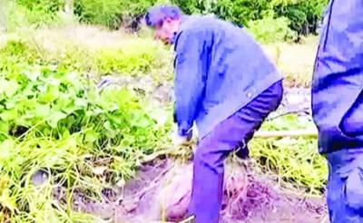 چینی شخص کی کھیت میں 41 کلو وزنی شکرقندی