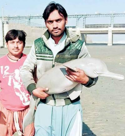 ہیڈ تونسہ' اپ سٹریم سے ملنے والا نایاب ڈولفن کا بچہ ریسکیو کرکے ڈاؤن سٹریم میں چھوڑ دیا گیا