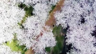 لاکھوں چیری پھولوں سے سجے خوبصورت مناظر