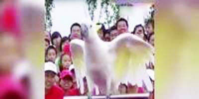 چین: دو طوطوں نے شاندار انداز میں مختلف کرتب دکھائے
