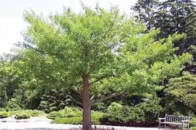 ایک ایسا درخت جسے ایٹم بم بھی نقصان نہیں پہنچا سکتا