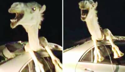 راجستھان میں انوکھا حادثہ اونٹ کار کی ونڈ شیلڈ میں پھنس گیا