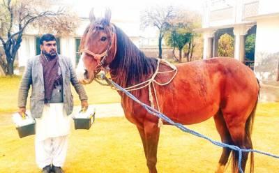 ملک احمد خان بھچر کی جانب سے وزیراعلیٰ کو تحفہ میں دیا گھوڑا لاہور بھجوا دیا گیا