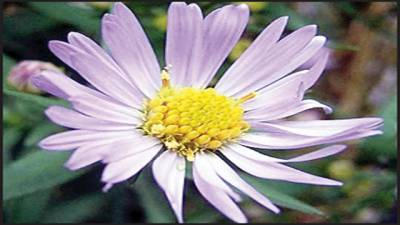 ایک عام سے پھول کی تصویر ایک دن میں 9 کروڑ مرتبہ دیکھی گئی