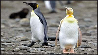 پیلے پینگوئن کی خوبصورتی نے سب کو حیران کردیا، تصاویر وائرل