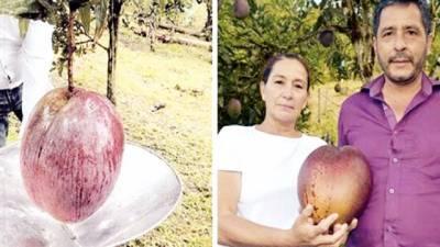 کولمبیا: کسان نے دنیا کا سب سے وزنی آم پیدا کر کے ورلڈ ریکارڈ بنا دیا